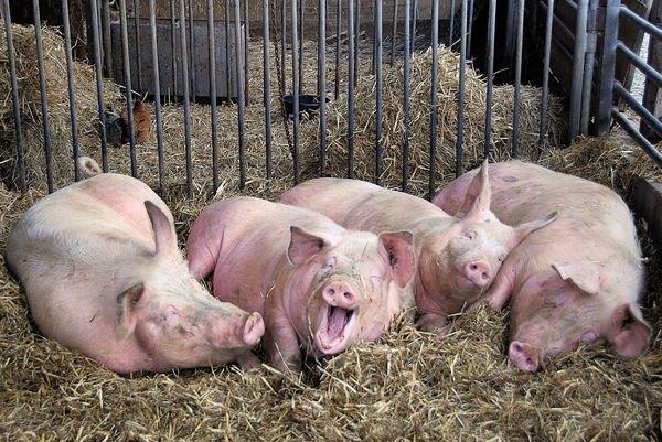 Panică în comuna Pomârla. Oamenii își taie animalele după confirmarea pestei porcine africane