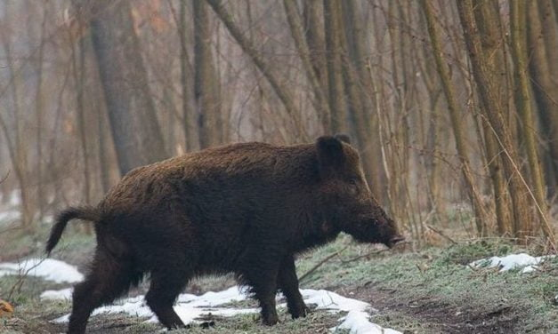 Pesta porcină a adus pagube mari Direcției Silvice Botoșani