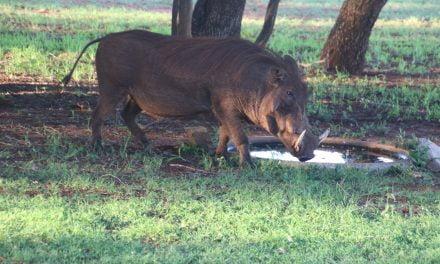 Un nou focar de pestă porcină africană!