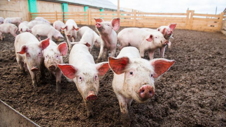 Focar de Pestă Porcină Africană la porc domestic, în comuna Hăneşti